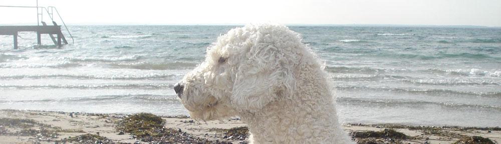 Perro de Agua Español de Ubrique